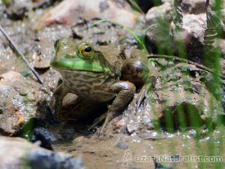 Bullfrog01_6.17.17