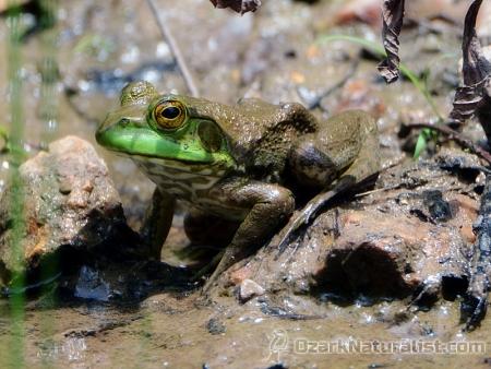 Bullfrog02_6.17.17