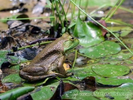 Bullfrog03_6.17.17