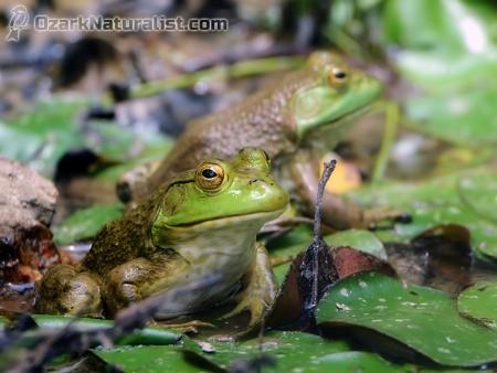 Bullfrog07_6.17.17