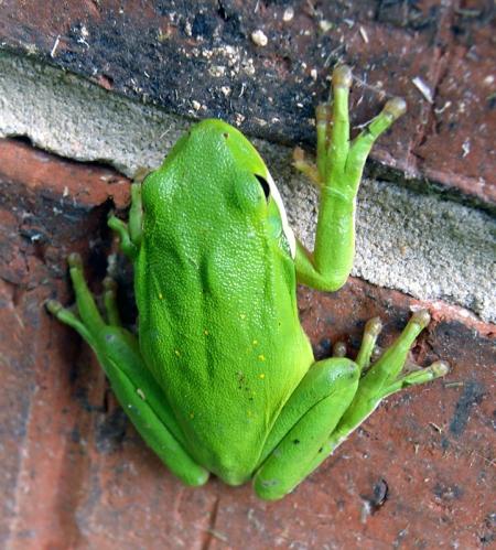 green-treefrog2.jpg