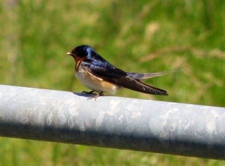 barn-swallow1.jpg
