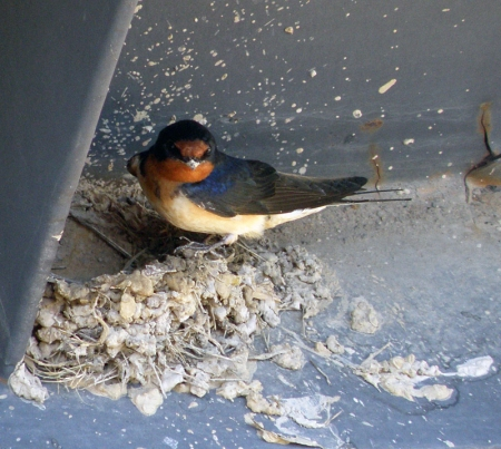 barn-swallow3.jpg