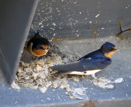 barn-swallow4.jpg
