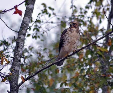 broad-winged-hawk2