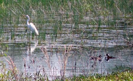 egret-mergansers.jpg