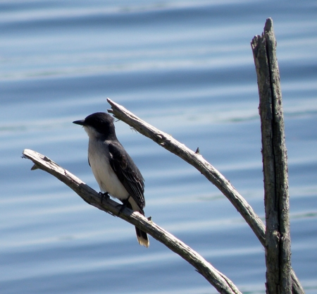 kingbird1.jpg