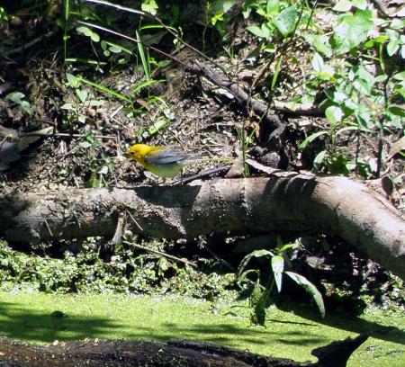 prothonotary-warbler.jpg