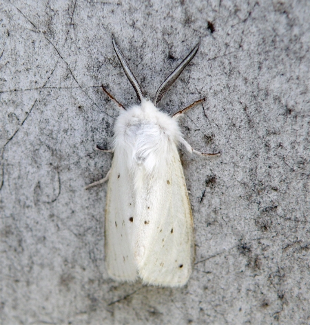 agreeable-tiger-moth-spilosoma-congrua.jpg