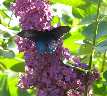 pipe-vine-swallowtail.jpg