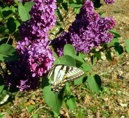 tiger-swallowtail_0.jpg