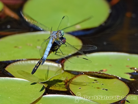 Blue_Dasher09_6.10.17