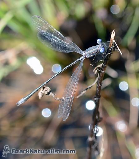 Lestes-australis01_11.19.15