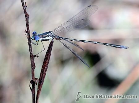 Lestes-australis02_11.19.15