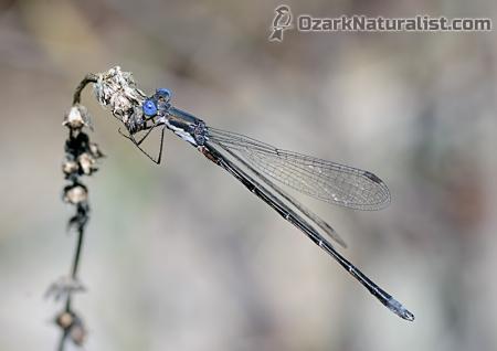 Lestes-australis04_11.19.15