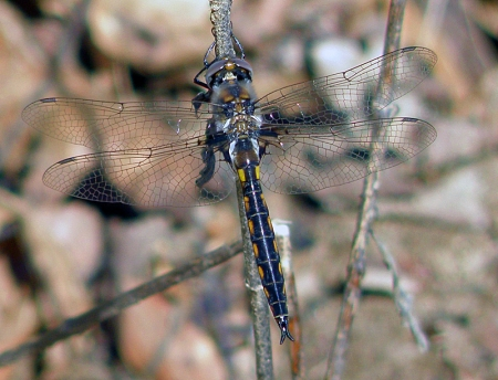 common-baskettail.jpg