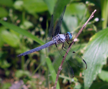 great-blue-skimmer.jpg