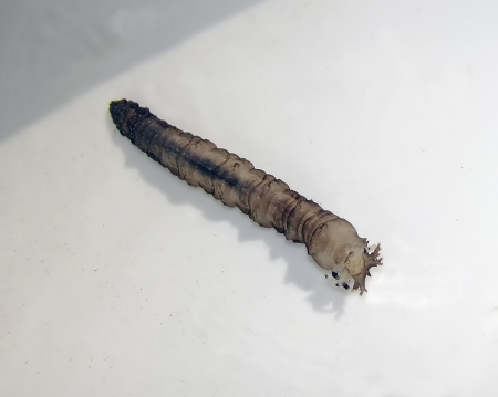 tipulidae-larvae