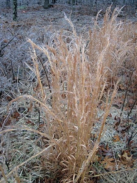 icy-broom-sedge