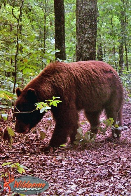 Black-Bear01_7.29.17