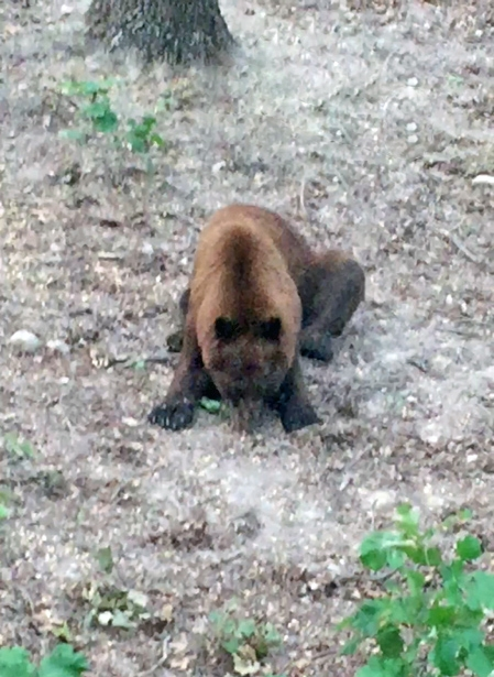 Black-Bear02_7.29.17