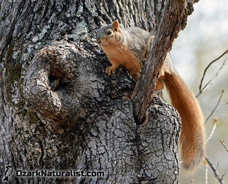 FoxSquirrel01_4.12.15