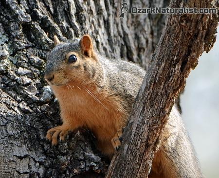 FoxSquirrel02_4.12.15