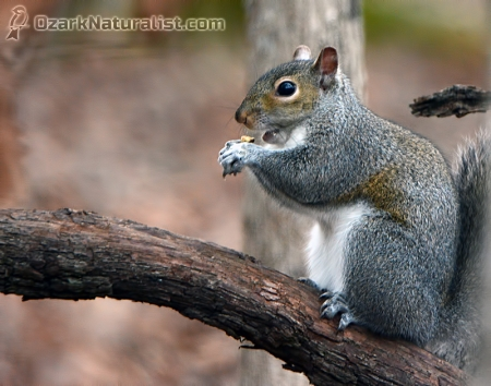 GraySquirrel01_12.12.15