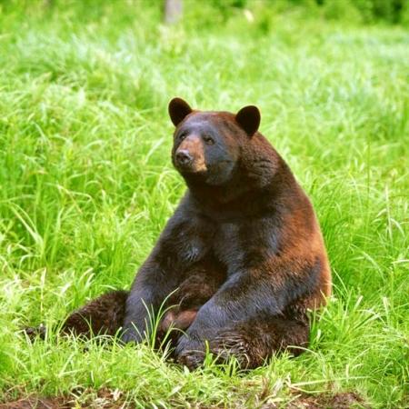 Sitting-Bear