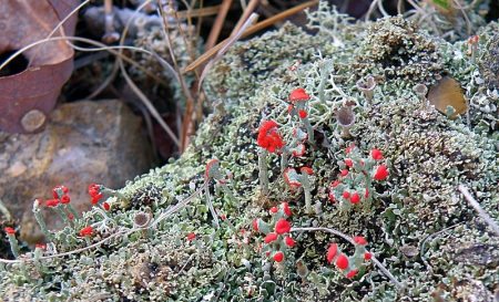 british-soldier-lichen-cladonia-macilenta.jpg