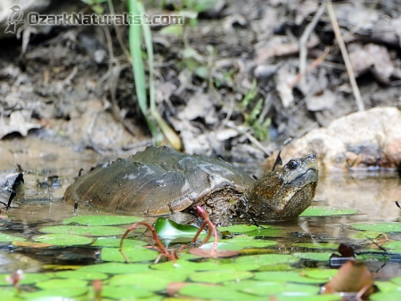 Snapping-Turtle09_6.17.17