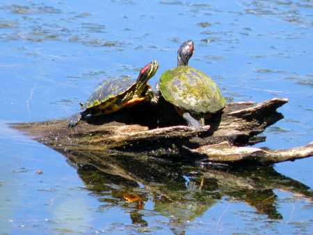 red-eared-slider.jpg