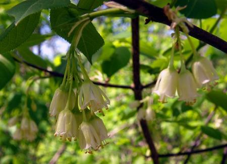american-bladdernut-staphylea-trifolia.jpg