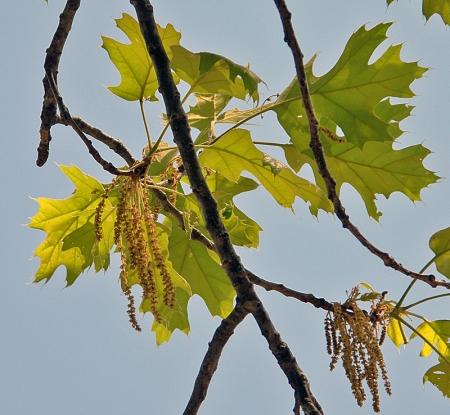 black-oak-blooms.jpg