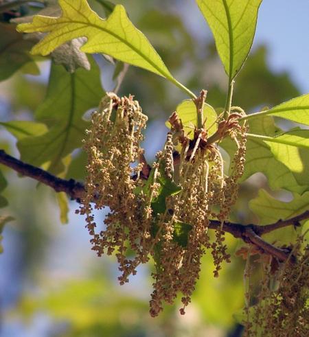 post-oak-blossoms.jpg