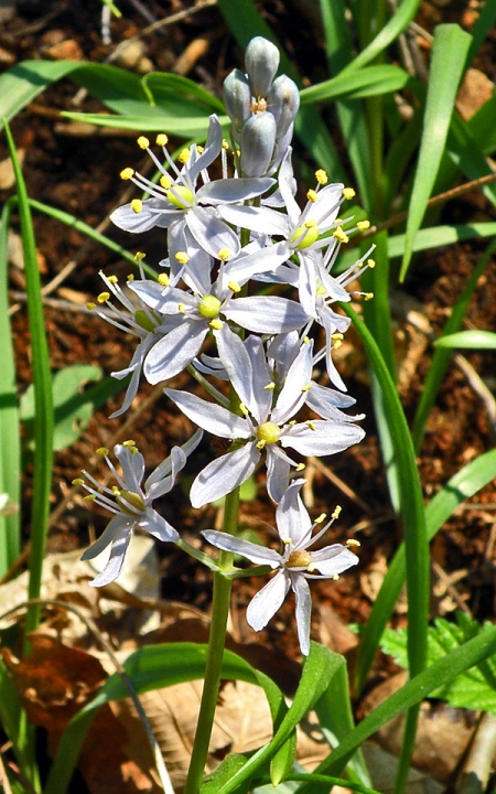 wild-hyacinth.jpg