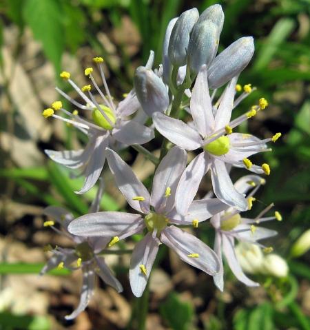 wild-hyacinth2.jpg