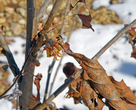 witch-hazel-in-snow